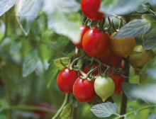 Top tips for tasty tomatoes sml
