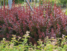 Shrubs for a spectacular seasonal hit