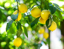 Planting under citrus