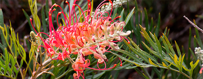 Why do some native plants die young