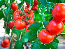 Q&A: What's killing my tomatoes?