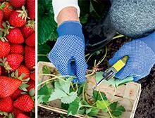 Propagate strawberry plantlets
