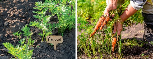 Top tips for crunchy carrots