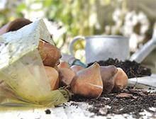 Grow potted bulbs