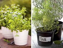 Herbs to grow now - June