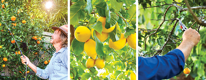 It's time to prune citrus