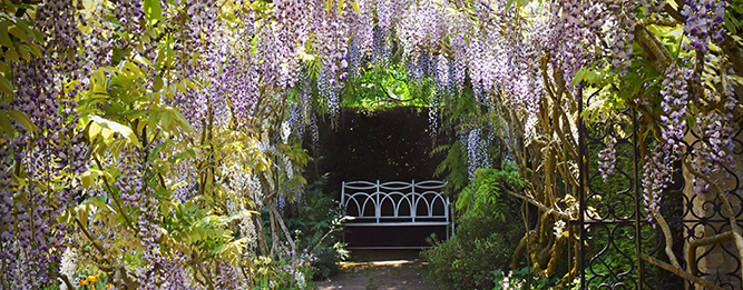 Wisteria dos and don'ts